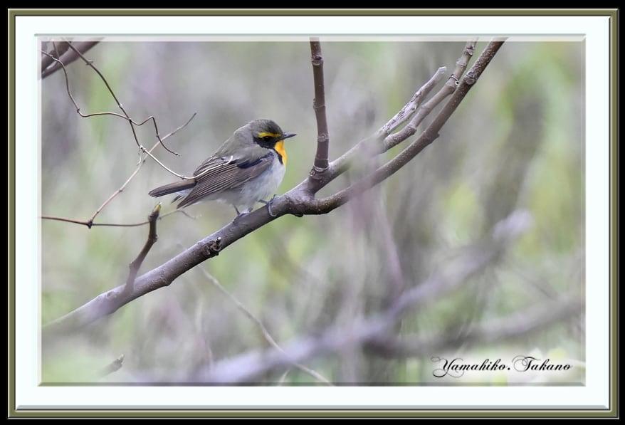 キビタキ(Narsissus Flycatcher)の若鳥や成鳥      —14.5.17—