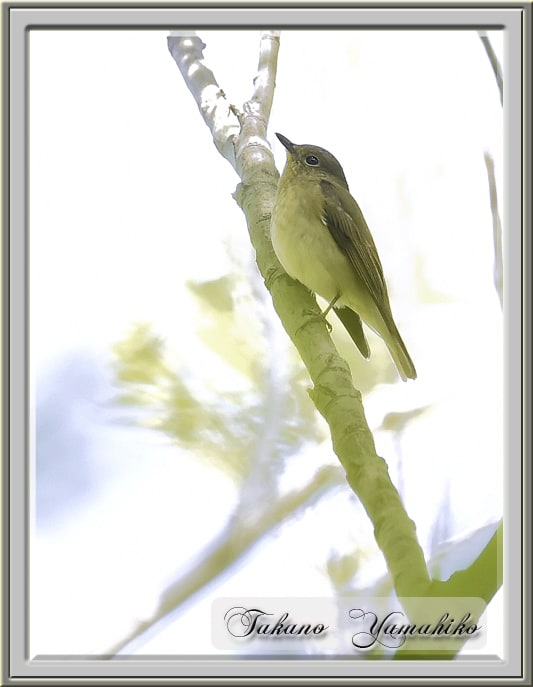 キビタキ(Narusisus Flycatcher)♀     —14.4.25—