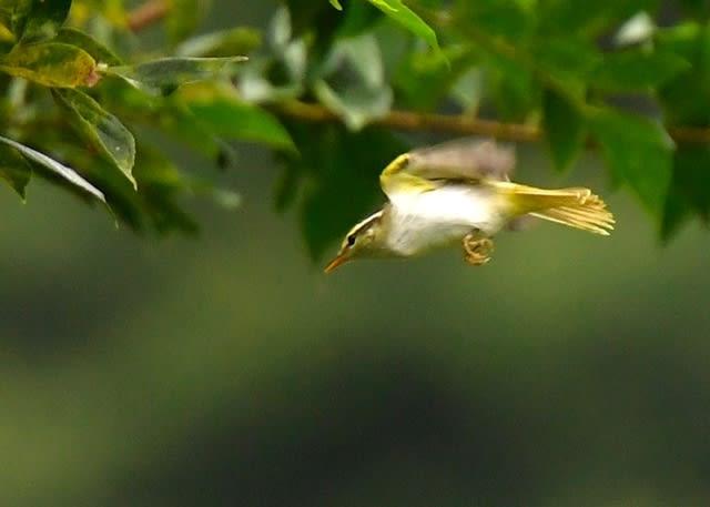 センダイムシクイ『eastern crowned warbler (Phylloscopus coronets)』—2017.8.27—