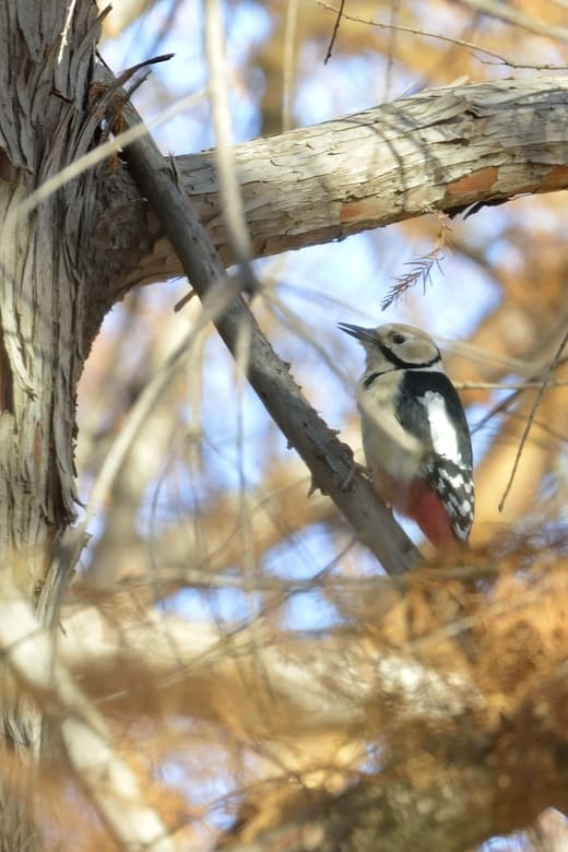 アカゲラ(Great Spotted Woodpecker)   —2012.12.13—