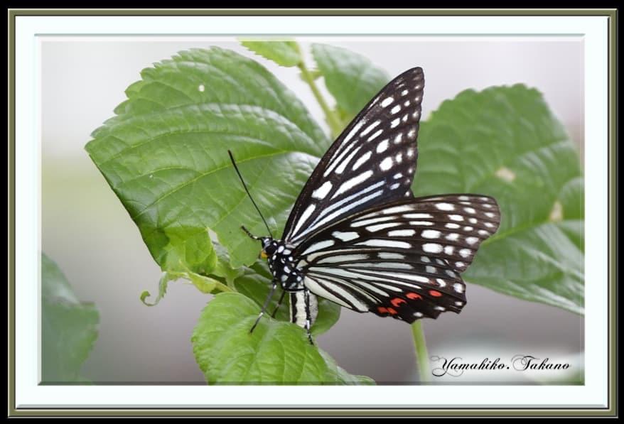 アカホシゴマダラ&クロアゲハ–真夏の公園の蝶ほか    —13.7.15—