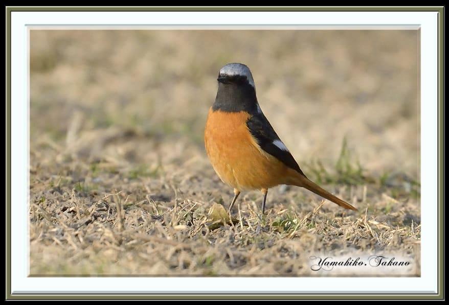 ジョウビタキ(Daurian Redstart )          —'14.2.27—