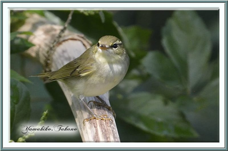 秋の舳倉島で逢った野鳥たち-オオムシクイ(Ph. examinandus )–12.10.10~12–