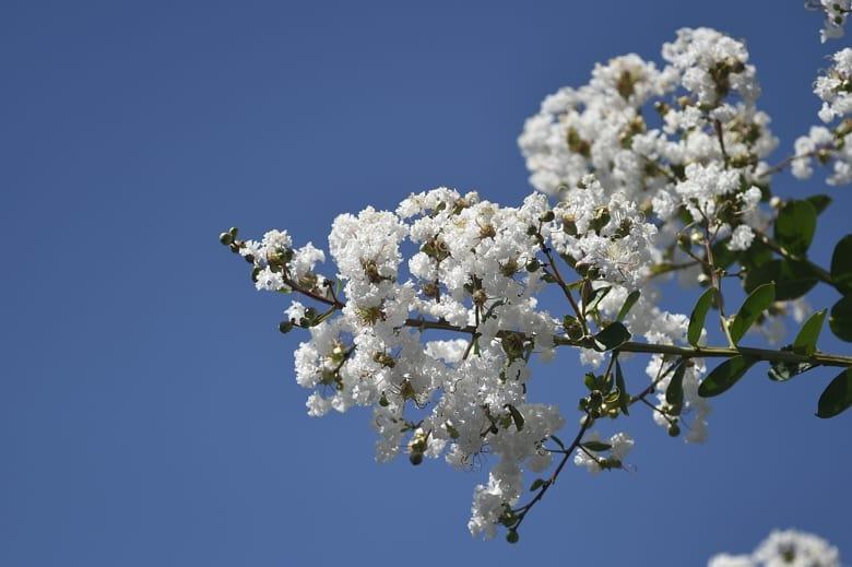 サルスベリの花    —'14.8.25—