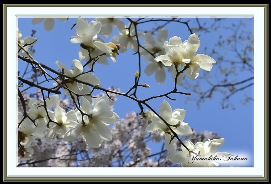 コブシそして桜開花 (cherry blossoms)   —15.3.30—