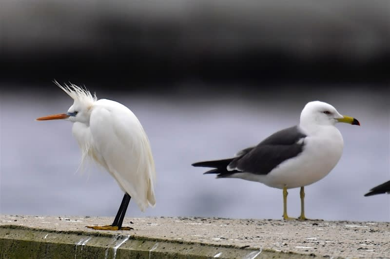 カラシラサギ(Chinese Egret) -舳倉島特集⑩    — 2018.5.18—