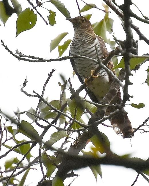 ツツドリ(Oriental Cuckoo)-赤色型-が公園のFIELDに立ち寄る   —14.9.19—
