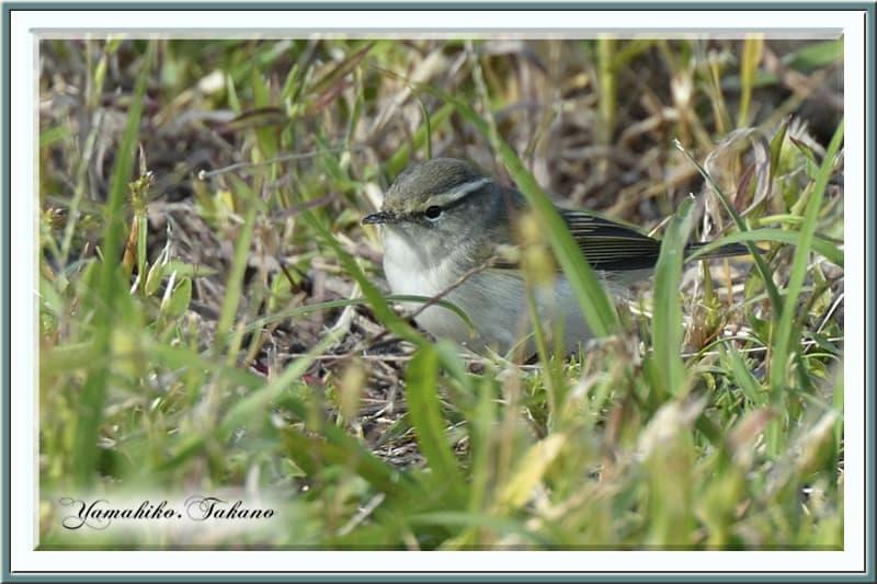 秋の舳倉島で逢った野鳥たち-C.キマユムシクイ(Yellow-browed Wabler)–12.10.10~12–