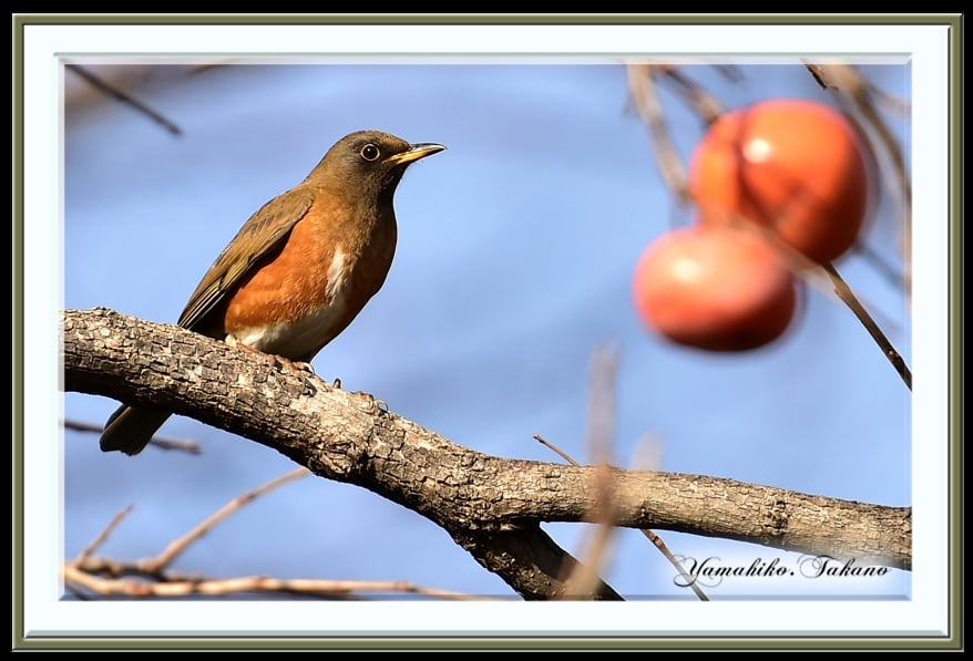 アカハラ(Brown-headed  Thrush)           —14.12.8—