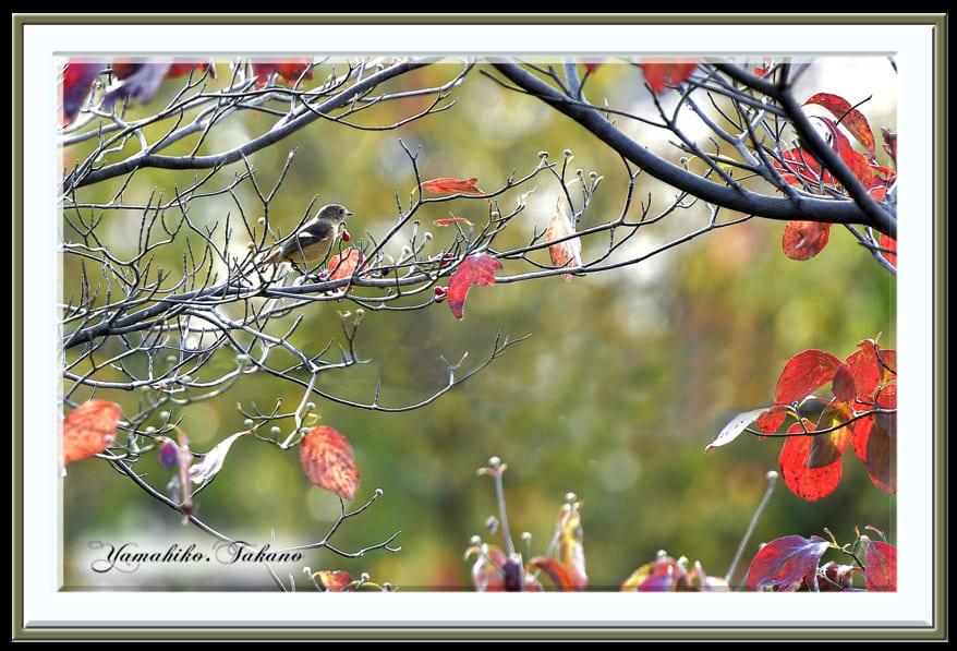 ジョウビタキ♀(Daurian Redstart)  他      —15.10.29—