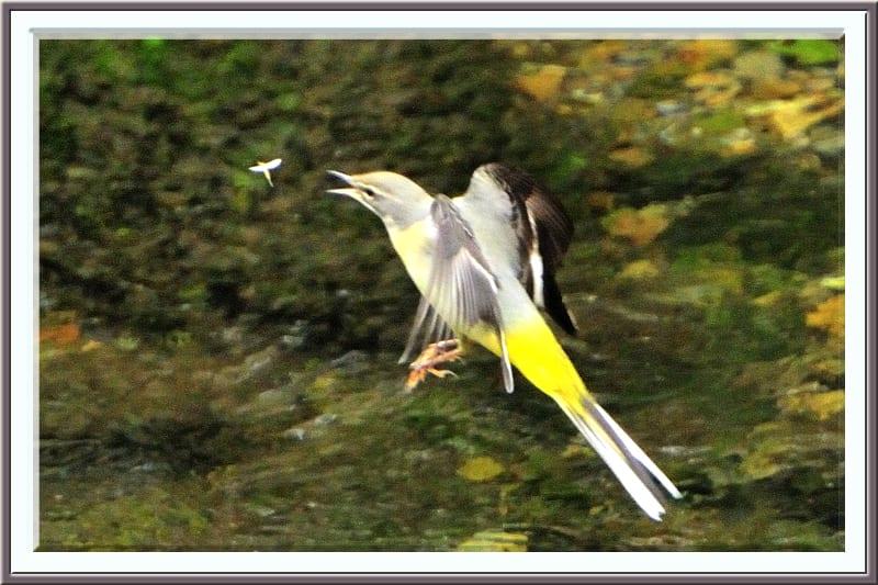 キセキレイが小昆虫を補食する一瞬—11.11.10—