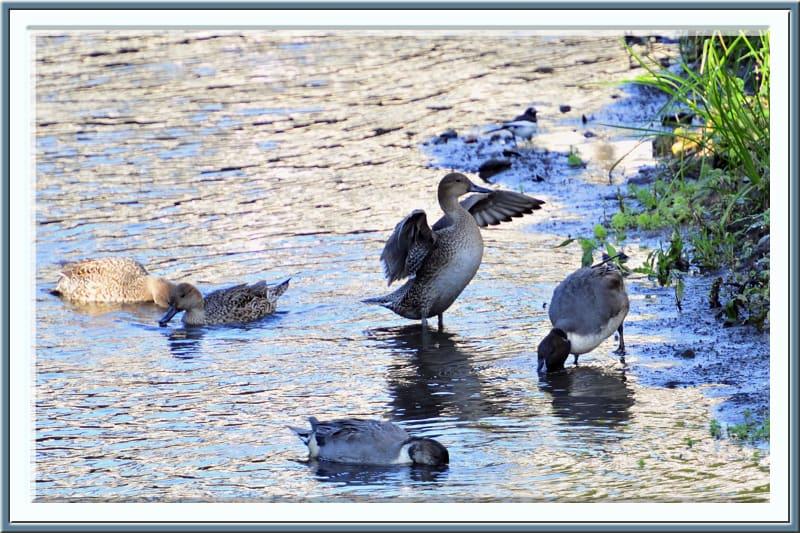水鳥たちの朝—11.11.7—