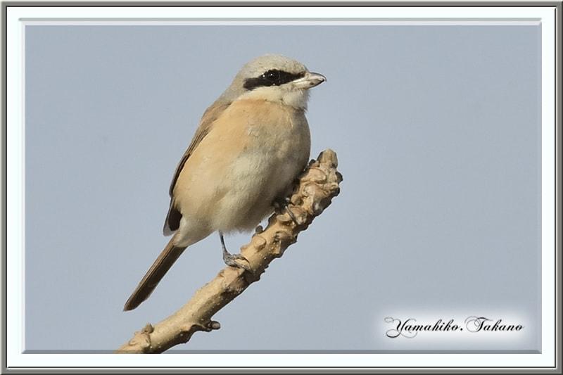 セアカモズ(Red-backd Shrike) 別カット再掲載     —2013.2.27—