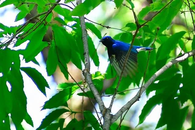 オオルリ(Blue-and-white  Flycatcher)   —2017.4.29—