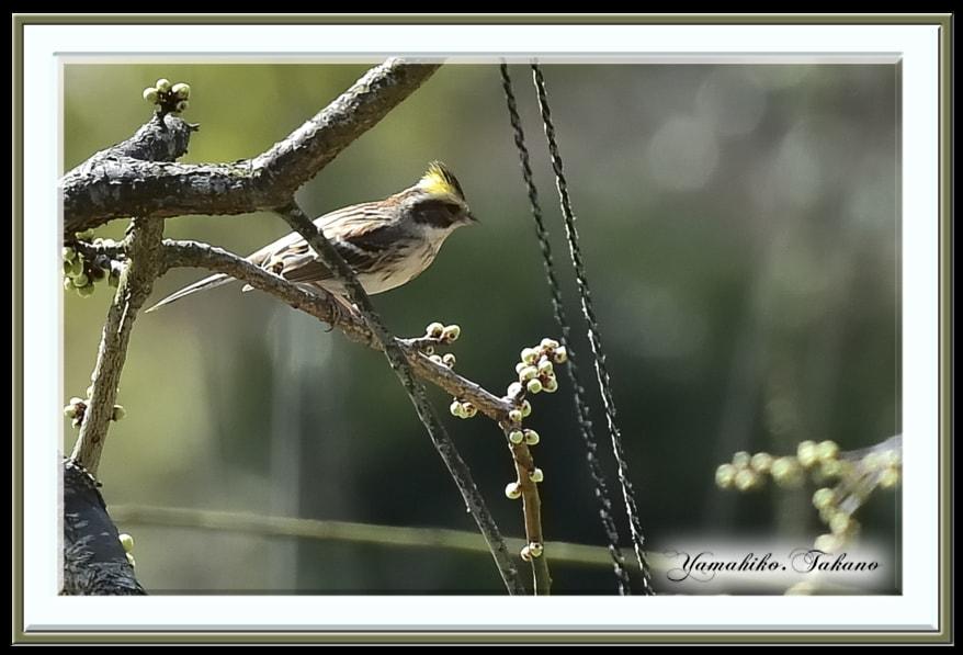 ミヤマホウジロ(Yellow-throated Bunting)     —15.2.23—