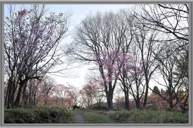アオゲラ、コゲラ、モズを桜が丘の記念樹の林に観る。—11.5.3—