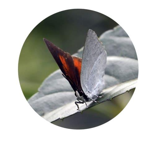 ウラギンシジミ  —15.10.24—