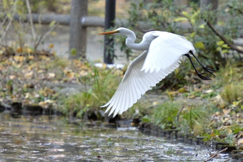 チュウサギ(Intermediate Egret)       —13.12.22—