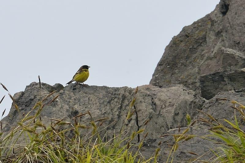 舳倉島の2日目のシマアオジ(Yellow-Breasted Bunting)他      —2013.5.15—