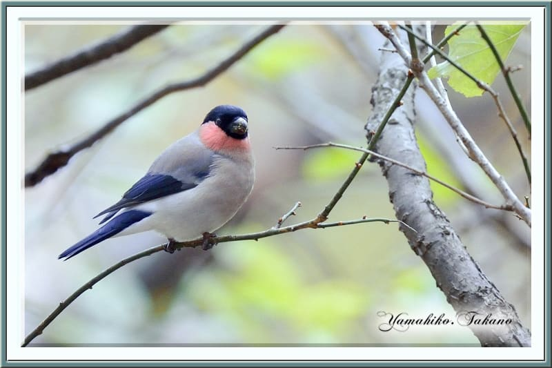 アカウソ(P.p.rosacea)!! 再々 登場!    —2012.11.30—