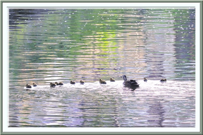 カルガモSpot-billed Duckの雛が11羽誕生!—12.6.14—