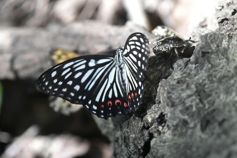 アカホシゴマダラ(Hestina assimilis)                  —14.8.20—