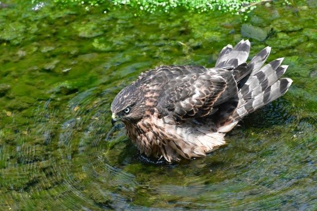 オオタカ若鳥の水浴びに思うこと  —2017.7.16—