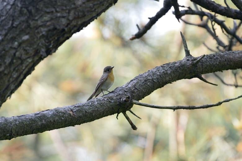 舳倉島の2日目に出会った野鳥たち      —2013.5.15—