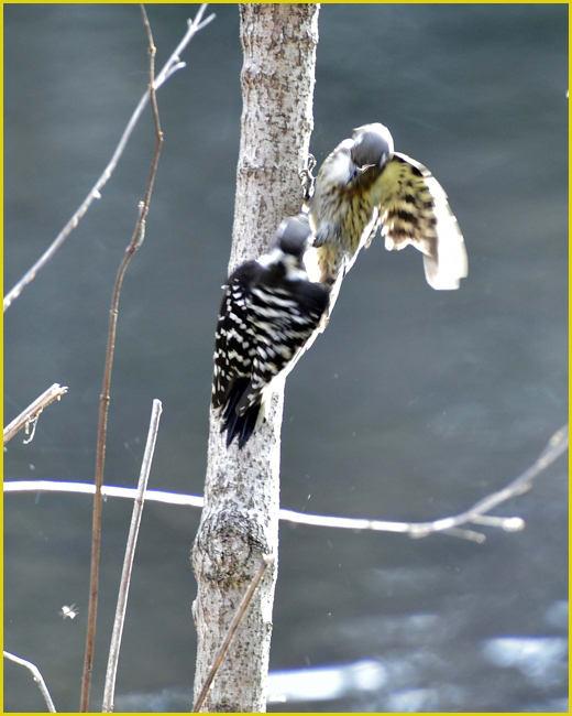 コゲラ(Japanese pygmy woodpecker)         — '16.1.20—