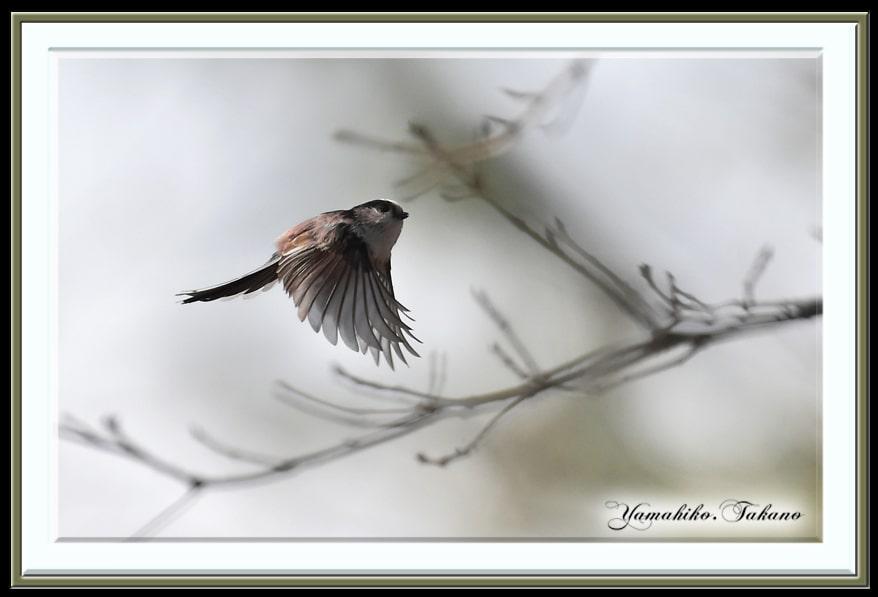 エナガ(Long-tailed Tit)      —15.1.25—