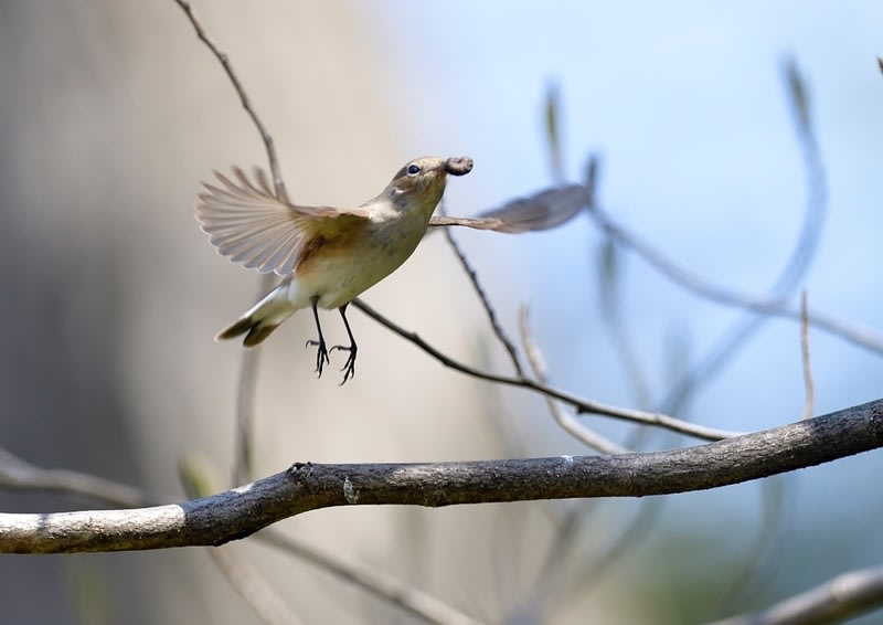 珍鳥ニシオジロビタキ(Red-breasted Flycatcher)-13—2019.4.6—
