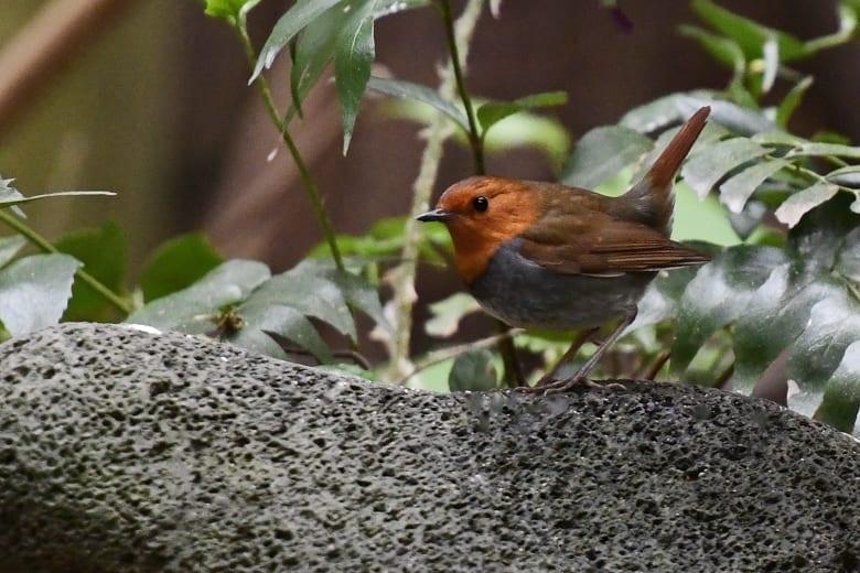 ⭐舳倉島遠征—-いつものお馴染みの小鳥たち—コマドリ —16.5.2~6—