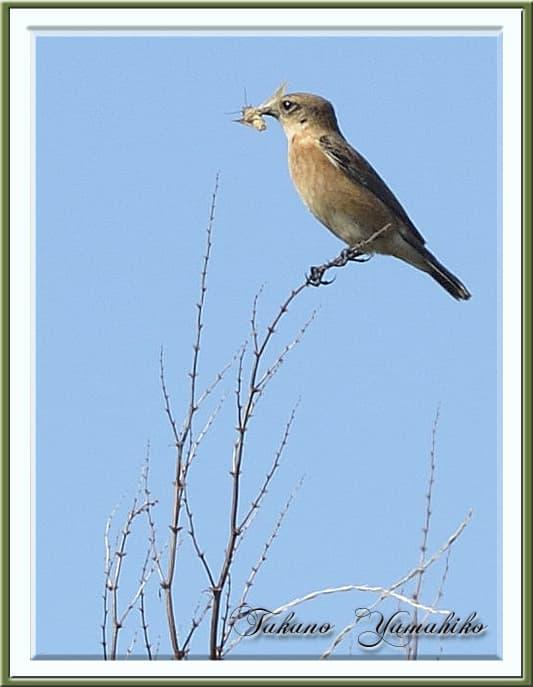 秋の舳倉島で逢った野鳥たち-J.ノビタキ(Common Stonechat )–12.10.10~12–