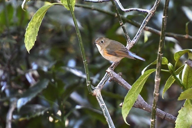 ルリビタキ(Red-flanked Bluetail) ❶雌            —2017.1.26—