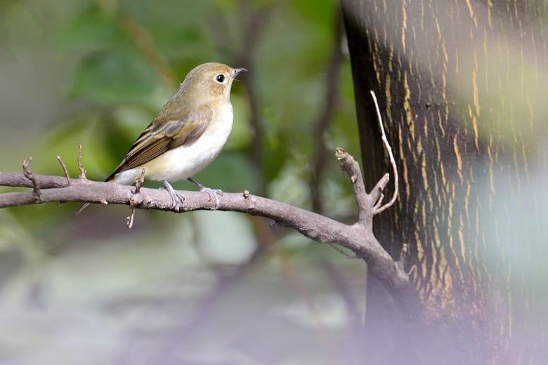 キビタキ(Narusisus Flycatcher)♂♀ 再び    —13.10.7—