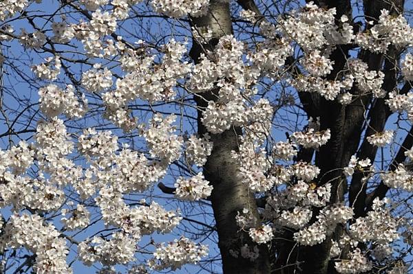 染井吉野に続き 山吹が咲き、桃も連翹もボケも一気に咲き始めました(08.4.3)