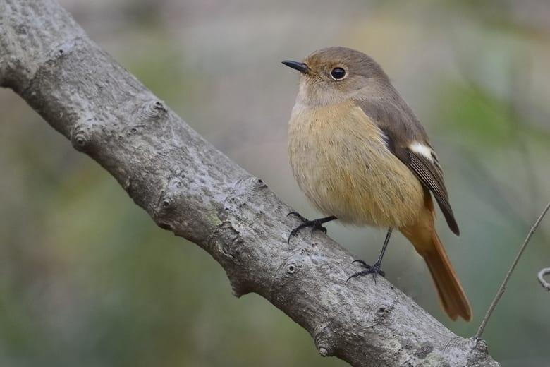 ジョウビタキ(Daurian Redstart )          —'13.12.23—