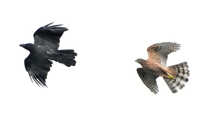 オオタカ(Northern Goshawk) の幼鳥の生育状況〜〜飛翔   —2017.7.24—