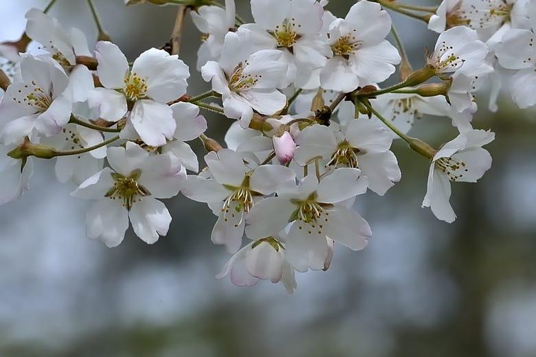 さくらー小松乙女他春の花々   —13.3.23—