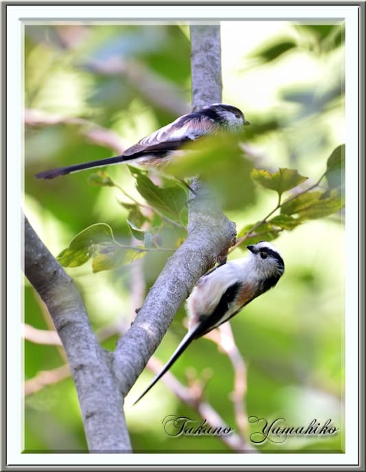 エナガ(Long-tailed tit)  —13.10.3—