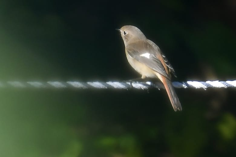 ジョウビタキ(Daurian  Redstart)               — 2016.11.26—