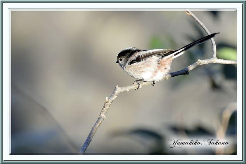 エナガ(Long-tailed Tit)がかわいく、動きも速い!  —12-12-26—