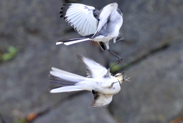 セキレイの戯翔とトンボを食べるハクセキレイ♂—10.10.27—