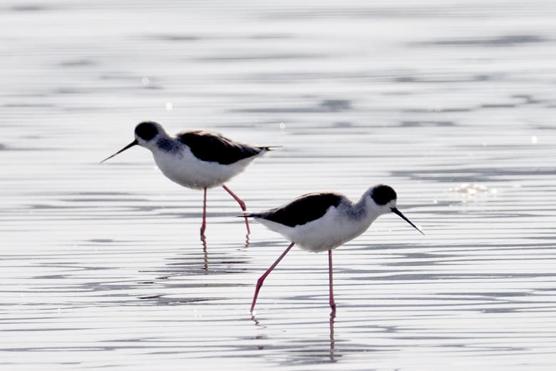 セイタカシギBlack-winged Stilt or Common Stilt (Himantopus himantopus)は愛くるしい!—12.1.19—