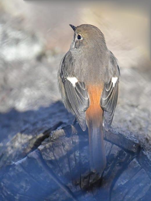 ジョウビタキ(Daurian  Redstart)               — 2017.1.19—
