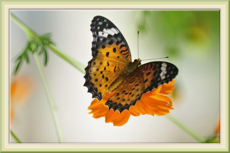 花壇の蝶2種—ツマグロヒョウモン、ヒメアカタテハ—11.9.17—