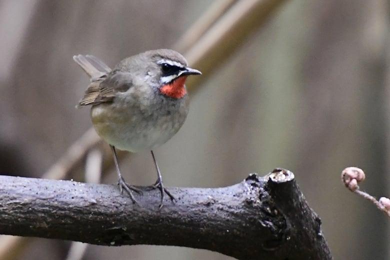 ⭐舳倉島遠征—-いつものお馴染みの小鳥たち—ノゴマ —16.5.2~6—