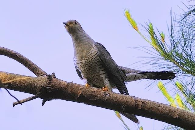 カッコウ(Oriental  Cuckoo) —2017.6.3—