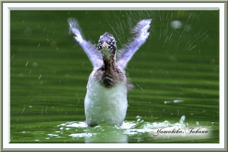 カイツブリの若鳥が飛び立ちの練習を始めました。 —12.9.30—