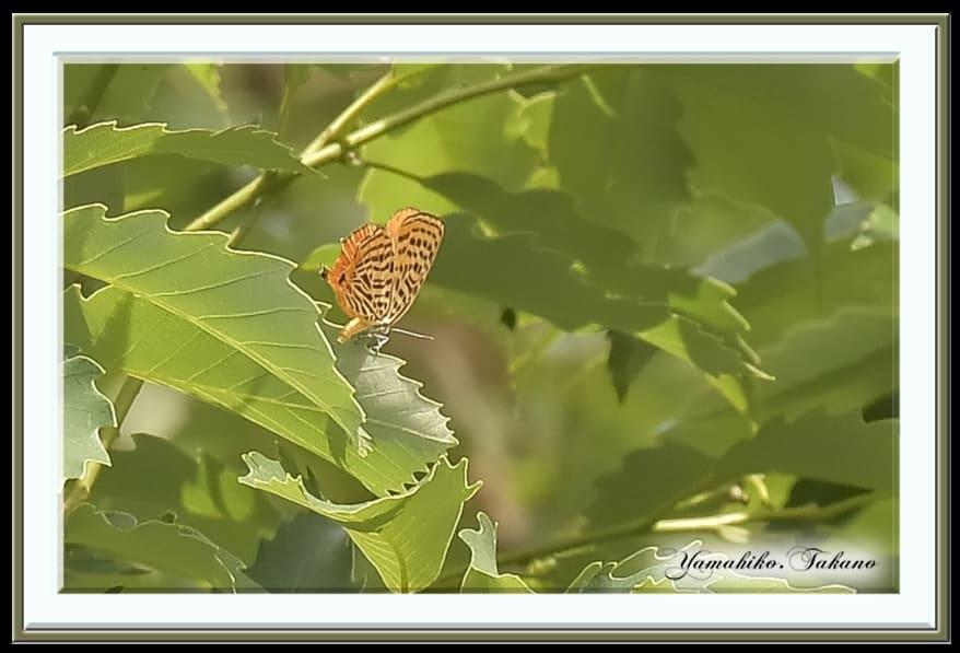 ウラナミアカシジミ(Japonica saepestriata Hewitson, 1865)        —2015.5.23—